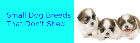 Small Dog Breeds That Don't Shed