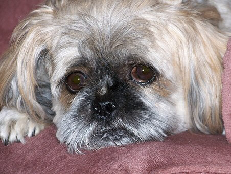 How often should I bathe my Shih Tzu