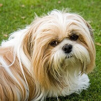 Shih Tzu Grooming :A guide to groom your FurBaby.