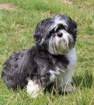 What Makes the Shih Tzu Special