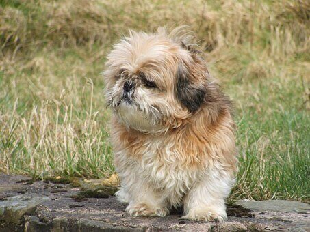 style your Shih Tzu