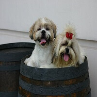 shihtzu feature