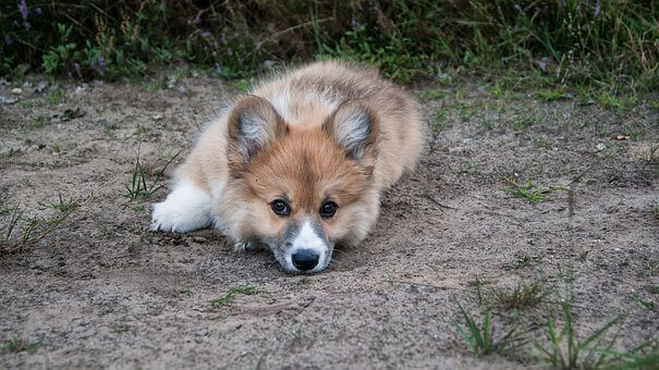 welsh-corgi