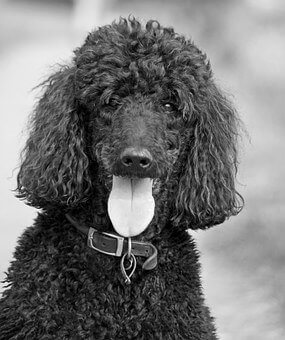 Best Dog Clippers for Poodles: Know the best type of Clippers.
